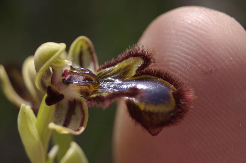 orquidea murciana