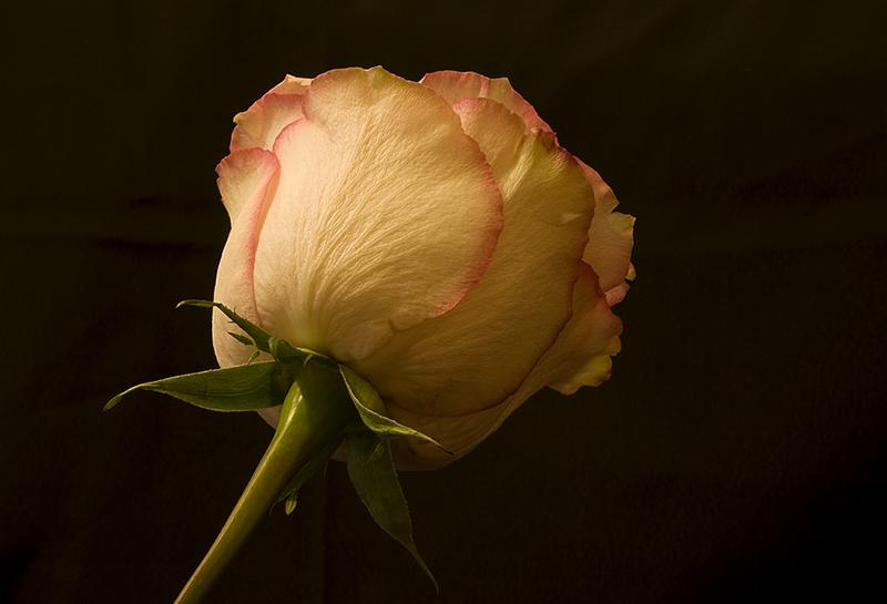 rosa72